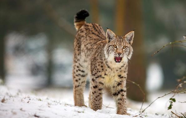 Картинка зима, лес, язык, кошка, взгляд, снег, поза, пасть, красавица, рысь
