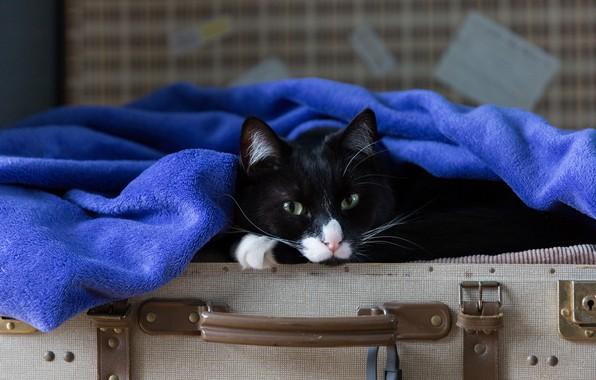 Картинка кошка, кот, взгляд, морда, синий, поза, черный, портрет, полотенце, лежит, чемодан, зеленоглазый, хитрый, вояж, махровое