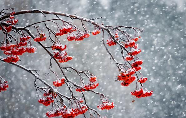 Картинка зима, снег, ягоды, рябина