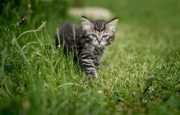 Картинка лето, трава, взгляд, природа, животное, детёныш, котёнок