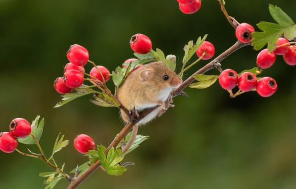 Картинка ягоды, фон, ветка, мышка, грызун, боярышник, мышь-малютка