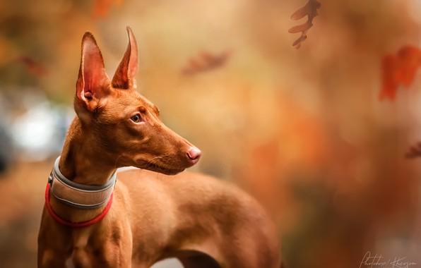 Картинка осень, листья, природа, животное, собака, фараон, профиль, пёс, Екатерина Кикоть, Фараонова собака