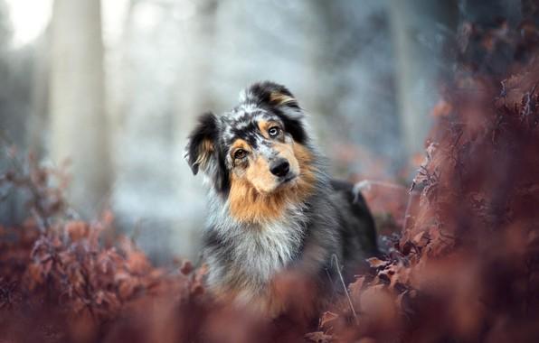 Картинка осень, лес, взгляд, листья, ветки, природа, парк, фон, листва, портрет, собака, кусты, боке, пестрая, аусси