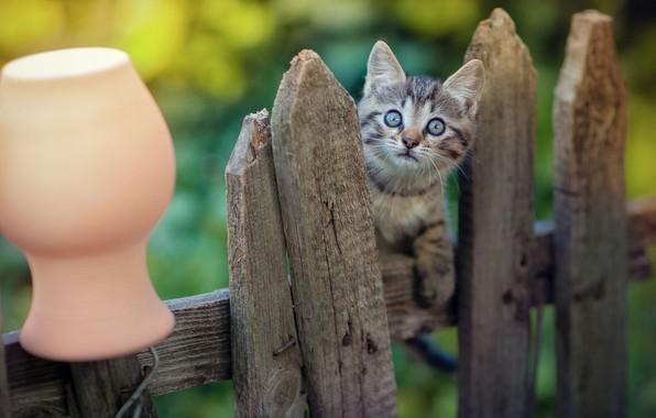 Картинка взгляд, забор, малыш, мордочка, котёнок, крынка