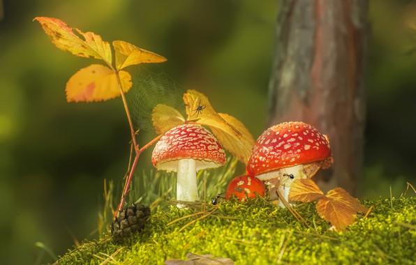 Картинка осень, листья, макро, природа, грибы, мох, паутина, муравьи, мухоморы, шишка, паучок, Vlad Vladilenoff