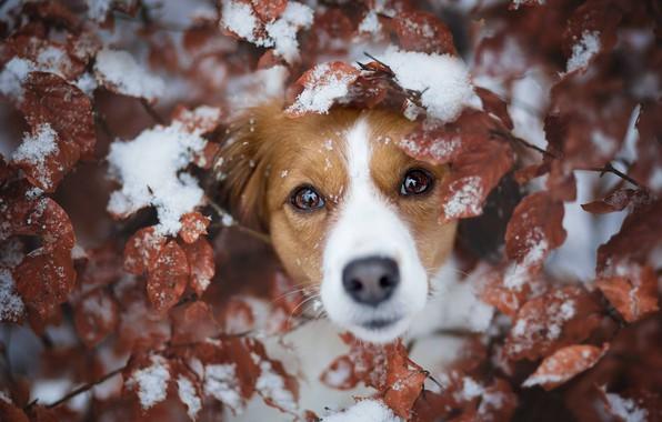 Картинка взгляд, листья, снег, ветки, собака, мордашка