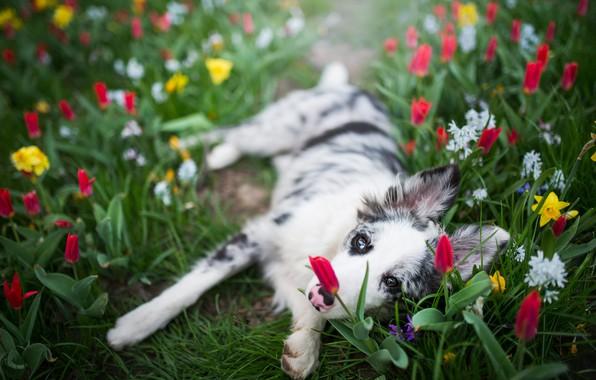 Картинка белый, взгляд, морда, цветы, поза, поляна, собака, весна, лапы, желтые, сад, тюльпаны, щенок, красные, лежит, …