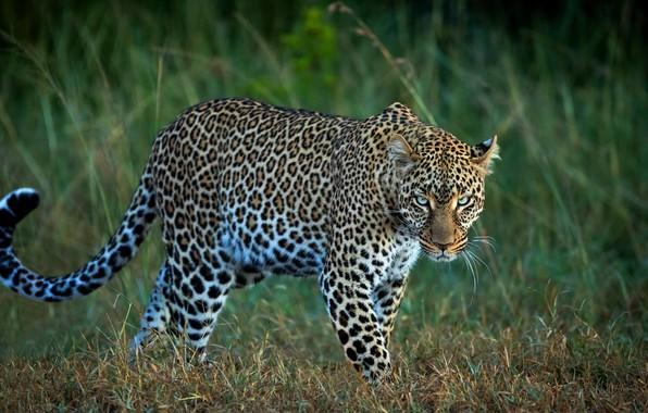Картинка поле, трава, взгляд, леопард, дикая кошка