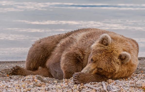 Картинка природа, медведь, зверь