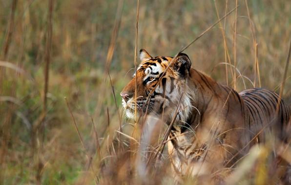 Картинка кошка, хищник, бенгальский тигр
