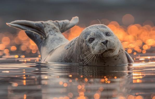 Картинка взгляд, вода, фон, тюлень, купание, хвост, мордашка, водоем, боке, ластоногие