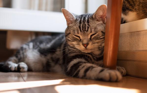 Картинка кошка, кот, морда, свет, уют, дом, серый, отдых, коты, мебель, сон, лапы, паркет, спит, пол, …