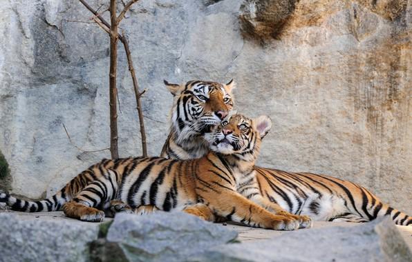 Картинка камни, хищники, Германия, тигры, лежат, Berlin, Tierpark