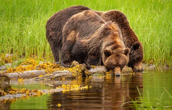 Картинка зелень, лето, трава, взгляд, вода, поза, жажда, берег, медведи, пара, водопой, два, водоем, брёвна, крупные, …