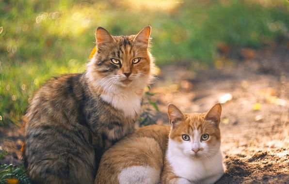 Картинка кошка, кот, фон, парочка, семейный портрет, Ольга Алексейчик