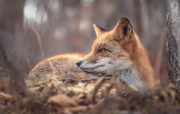 Картинка осень, природа, дерево, животное, лиса, ствол, профиль, лисица