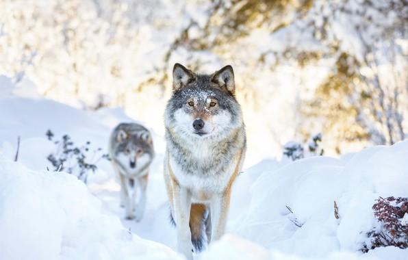 Картинка winter, snow, two, wolf