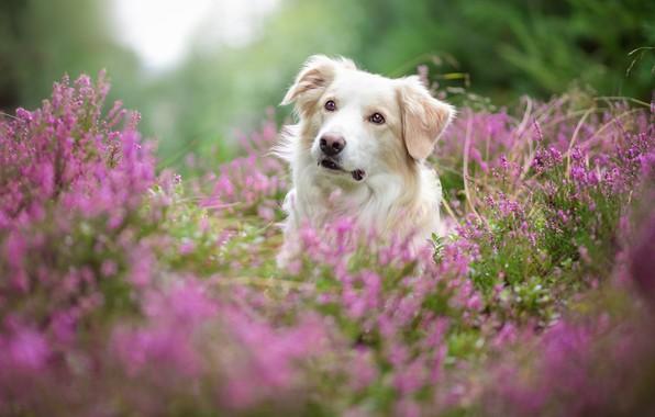 Картинка лес, лето, взгляд, морда, цветы, природа, фон, заросли, портрет, собака, размытие, белая, розовые, боке, вереск