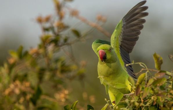 Картинка птица, крылья, размытость, попугай, Индийский кольчатый попугай