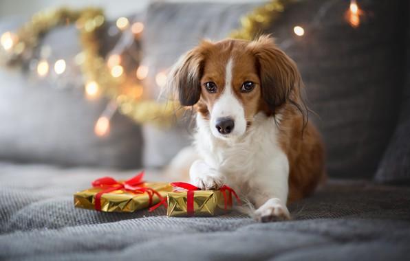 Картинка зима, взгляд, огни, поза, уют, дом, диван, праздник, собака, огоньки, Рождество, подарки, Новый год, лежит, …