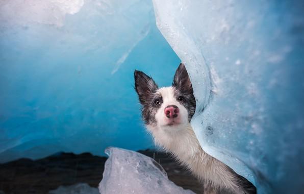 Картинка холод, лед, зима, морда, поза, фон, голубой, портрет, лёд, собака, ледник, нос, щенок, льдины, выглядывает, …
