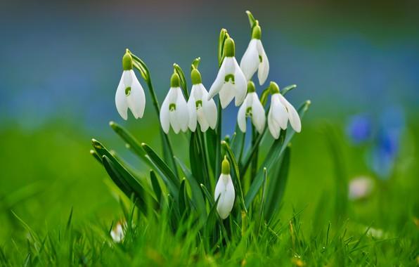 Картинка трава, фон, весна, подснежники, боке