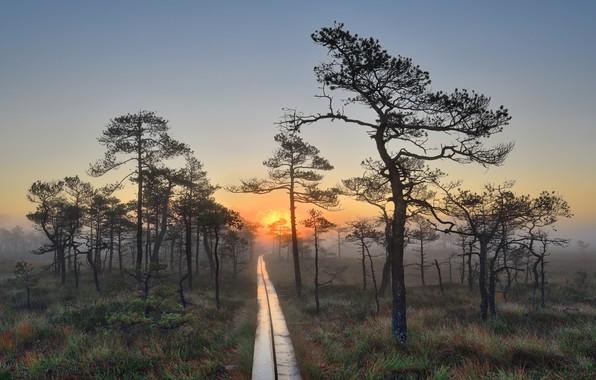 Картинка трава, деревья, пейзаж, природа, туман, роса, рассвет, болото, утро, дорожка, сосны, кочки