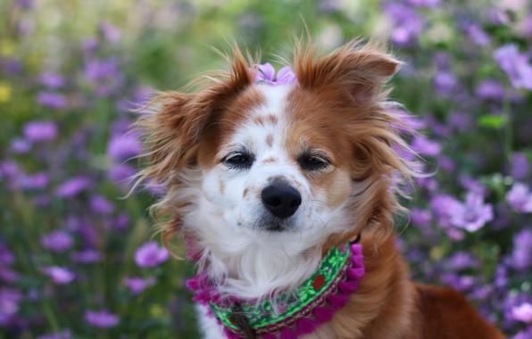 Картинка взгляд, цветы, собака, сад, прическа, ошейник, рыжая, мордашка, собачка, смешная, симпатяга, цветочек, забавная
