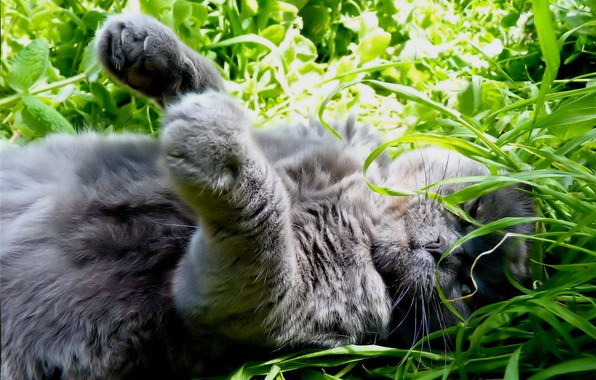 Картинка в траве, нежится, лежит на спине, серая кошка