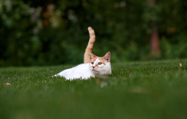 Картинка кошка, трава, отдых, хвост, лужайка, котейка
