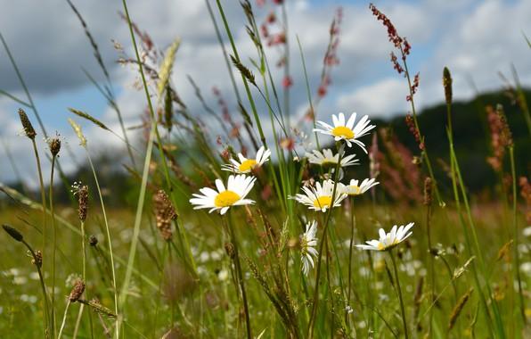 Картинка поле, лето, небо, трава, облака, цветы, поляна, ромашки, колоски, луг, белые, полевые, былинки