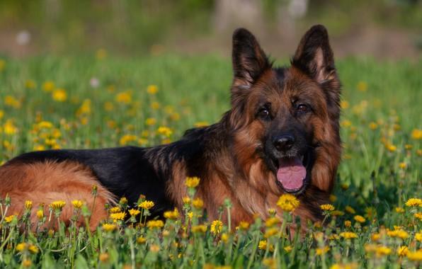 Картинка собака, рыжая, одуванчики, немецкая овчарка, овчарка, длинношерстная, норвегия де заубер хоф
