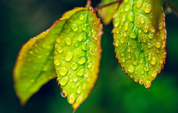 Картинка листья, капли, макро, роса, капли росы