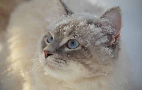 Картинка кошка, кот, взгляд, снег, мордочка, голубые глаза, котейка