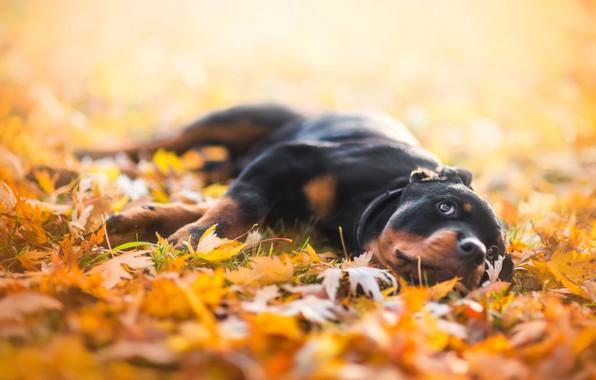 Картинка грусть, осень, взгляд, морда, листья, желтый, природа, поза, фон, отдых, листва, собака, лапы, желтые, малыш, …