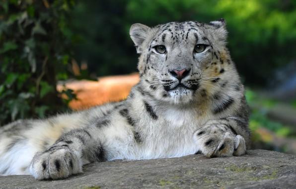 Картинка кошка, взгляд, морда, природа, поза, фон, листва, камень, лапы, лежит, ирбис, снежный барс, дикие кошки