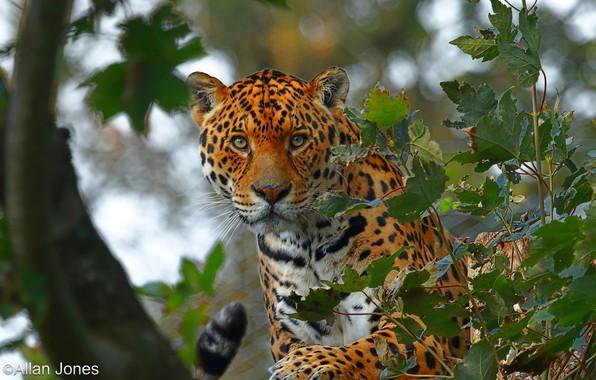 Фото обои взгляд, морда, листья, деревья, ветки, природа, хищник, ягуар, боке