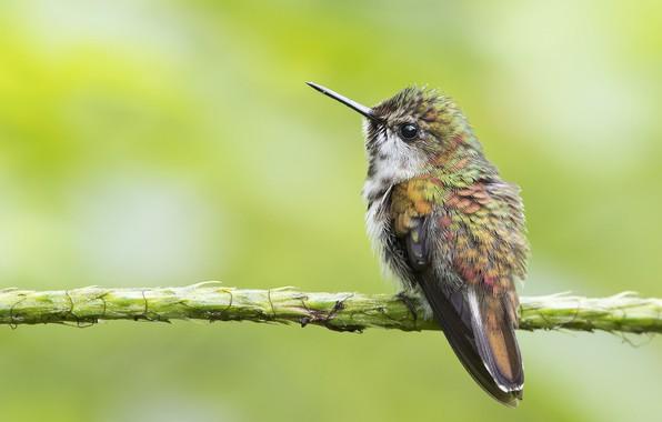 Картинка колибри, птичка, кроха