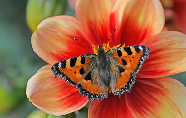 Картинка цветок, макро, бабочка, лепестки, Георгина, Крапивница
