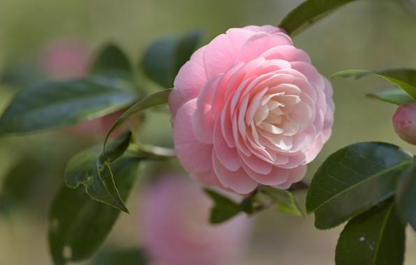 Картинка листья, макро, розовая, Камелия