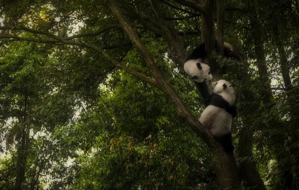Картинка дерево, игра, панда, играют, панды