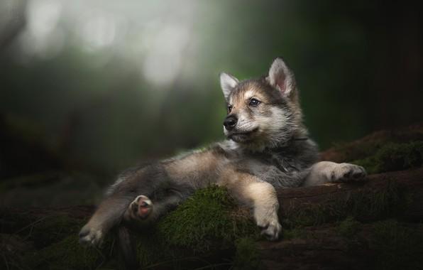 Картинка малыш, щенок, боке, Тамасканская собака