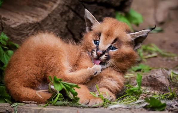 Картинка язык, кошка, взгляд, листья, поза, фон, пень, малыш, лежит, котёнок, рысь, мордашка, детеныш, дикая кошка, …
