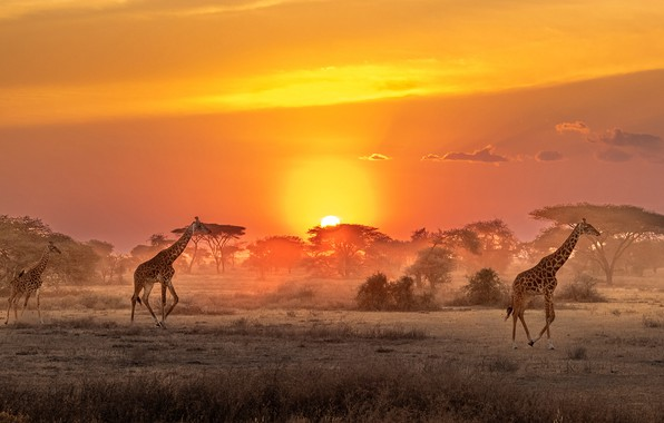 Картинка Солнце, жирафы, саванна, Африка, sun, Africa, savannah, giraffes