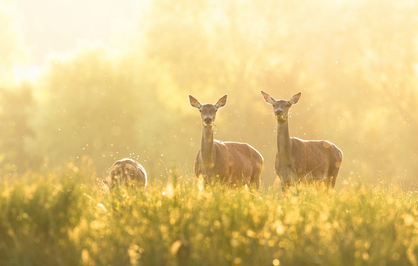 Картинка лето, трава, свет, туман, поляна, весна, олень, утро, луг, олени, боке, пасутся, мошкара