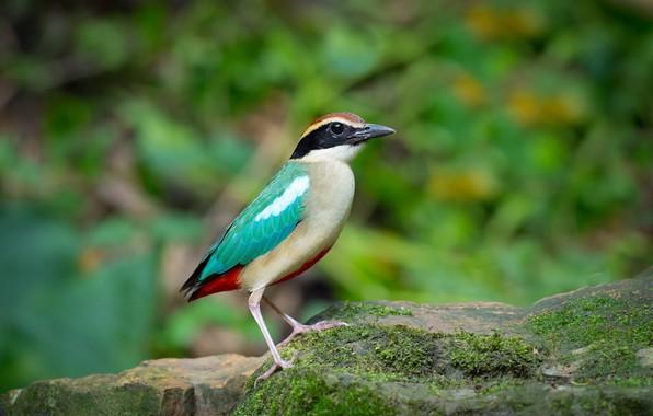 Картинка птица, камень, мох, питта-нимфа