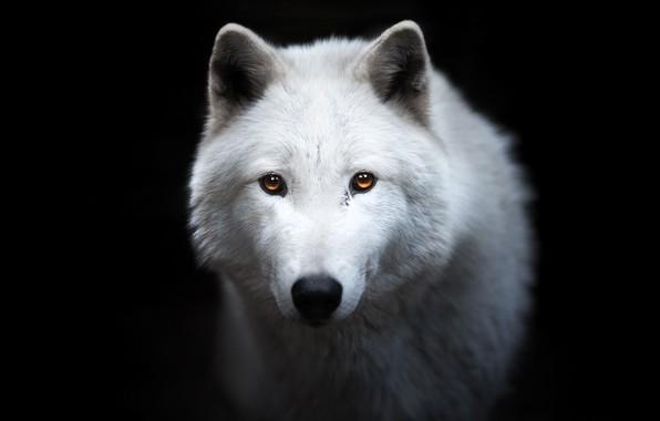 Картинка белый, взгляд, морда, волк, портрет, чёрный фон