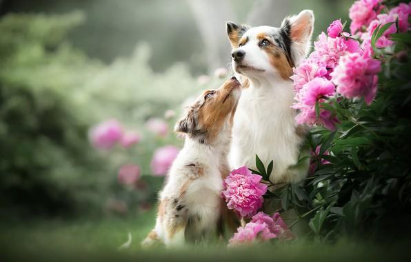 Картинка собаки, цветы, щенок, боке, пионы