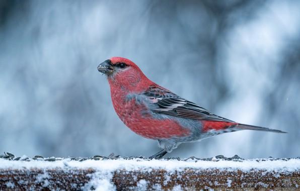 Картинка зима, птица, Щур