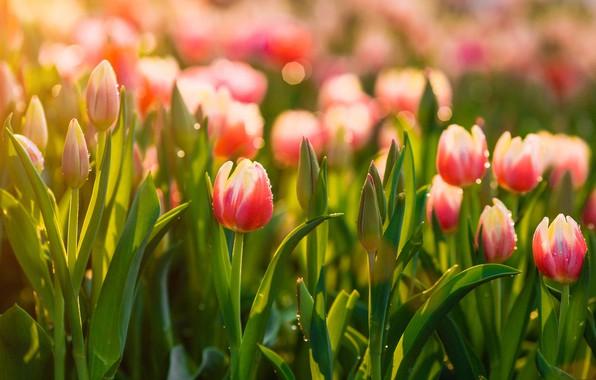 Картинка весна, луг, тюльпаны
